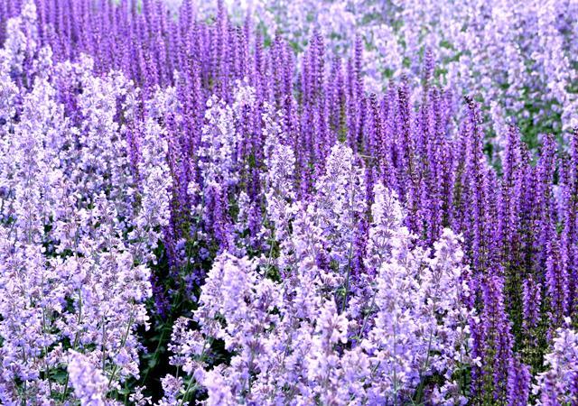 Pflanzenverwendung: Zur Blütezeit entstehen große Farbfelder.