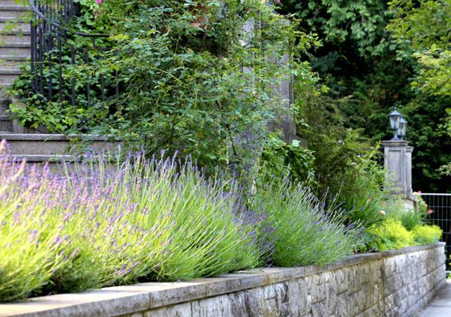 Duftendes Lavendelbeet in riechfreundlicher Höhe.