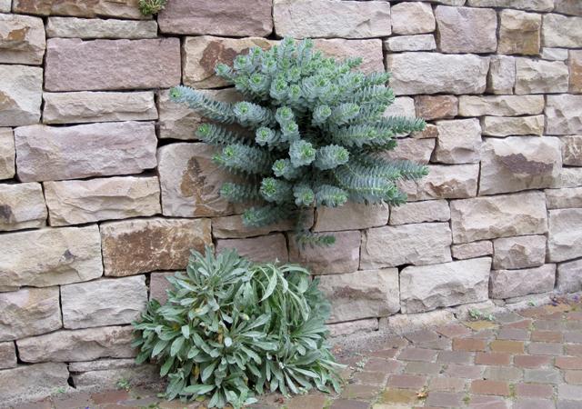 Natursteinmauern sind Lebensräume für Pflanzen