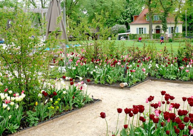 Tulpenblüte im Frühling.